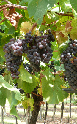 We cultivate our vineyards to produce excellent wine